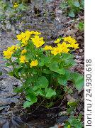 Купить «Marsh Marigold (Caltha palustris) flowers», фото № 24930618, снято 7 мая 2016 г. (c) Надежда Нестерова / Фотобанк Лори