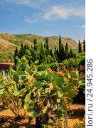Купить «Кактус опунция могучая с плодами на фоне гор. Opuntia robusta. Хорватия.», фото № 24945286, снято 24 августа 2016 г. (c) Устенко Владимир Александрович / Фотобанк Лори