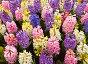 Красивые разноцветные гиацинты в весеннем саду (лат. Hyacinthus). Цветочный фон, фото № 24945430, снято 12 апреля 2013 г. (c) Виктория Катьянова / Фотобанк Лори