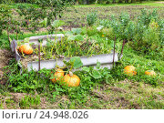 Купить «Orange pumpkins with big green leaves growing on the vegetable patch», фото № 24948026, снято 20 июня 2019 г. (c) FotograFF / Фотобанк Лори