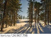 Купить «Cedar forest. Winter Siberian landscape. The shade of the trees.», фото № 24967798, снято 5 января 2017 г. (c) Great Siberia Studio / Фотобанк Лори