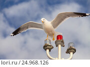 White seagull hunting on the blue cloudy sky background. Стоковое фото, фотограф Светлана Булычева / Фотобанк Лори
