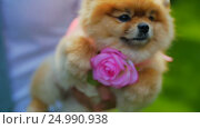 Pomeranian Spitz with Flower. Стоковое видео, видеограф Станислав Панкратов / Фотобанк Лори