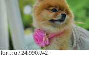 Pomeranian Spitz with Flower and Dress Yawn at Camera. Стоковое видео, видеограф Станислав Панкратов / Фотобанк Лори