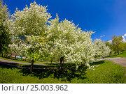Купить «Майское цветение», фото № 25003962, снято 16 мая 2007 г. (c) Хайрятдинов Ринат / Фотобанк Лори