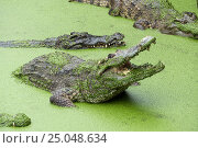 Crocodile with open mouth in green slime. Стоковое фото, фотограф Михаил Коханчиков / Фотобанк Лори