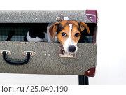 Купить «Чемоданное настроение. Маленькая собака джек расселл сидит в большом винтажном чемодане», фото № 25049190, снято 4 августа 2015 г. (c) Kira_Yan / Фотобанк Лори