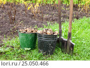 Купить «Freshly dug potatoes in metal bucket and shovel on the field in sunny day», фото № 25050466, снято 22 мая 2019 г. (c) FotograFF / Фотобанк Лори