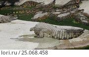 Купить «Scene with Big Crocodile», видеоролик № 25068458, снято 5 февраля 2017 г. (c) Владимир Журавлев / Фотобанк Лори
