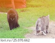 Купить «Два кота встали в угрожающие позы и собираются драться весной на траве», фото № 25070662, снято 8 июня 2012 г. (c) Бачкова Наталья / Фотобанк Лори