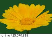 Купить «Цветок календулы, крупно, на зеленом фоне», фото № 25070818, снято 13 июля 2015 г. (c) Gaft Eugen / Фотобанк Лори