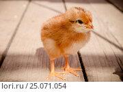 Купить «Цыплёнок», фото № 25071054, снято 20 июня 2012 г. (c) Хайрятдинов Ринат / Фотобанк Лори