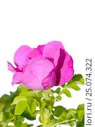 Купить «Wild rose», фото № 25074322, снято 24 июня 2012 г. (c) Иванов Аркадий Николаевич / Фотобанк Лори