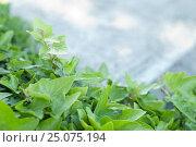 Купить «Ivy leaves in the sun», фото № 25075194, снято 11 мая 2007 г. (c) mauritius images / Фотобанк Лори