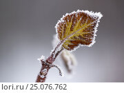 Купить «4 Season winter,abstract,arctic,beautiful,beauty of nature,berry,bleak,bokeh,botanical,botany,branch,brown,chilly,closeup,cold,cold temperature,cool,cool...», фото № 25076762, снято 17 декабря 2016 г. (c) mauritius images / Фотобанк Лори