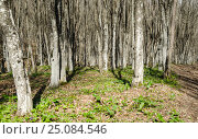 Купить «Крымский буковый лес ранней весной», фото № 25084546, снято 29 марта 2014 г. (c) Выскуб Анна / Фотобанк Лори
