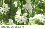 Spring flowers blooming Весенние цветы на яблони. Стоковое видео, видеограф Сергей Семенович Мальков / Фотобанк Лори