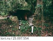 Okapi male spray marking territory {Okapia johnstoni} Ituri RR, Epulu, DR Congo. Стоковое фото, фотограф Jabruson / Nature Picture Library / Фотобанк Лори