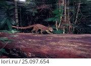 African palm civet {Nandinia binotata} Epulu Ituru RR Dem Rep Congo. Стоковое фото, фотограф Jabruson / Nature Picture Library / Фотобанк Лори