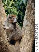 Купить «Crowned lemur female {Eulemur coronatus} Ankarana, Madagascar», фото № 25097866, снято 22 сентября 2018 г. (c) Nature Picture Library / Фотобанк Лори