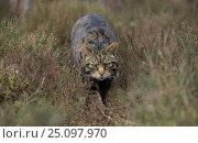 Wild cat stalking through heather {Felis silvestris} Cairngorms NP Scotland UK. Стоковое фото, фотограф Pete Cairns / Nature Picture Library / Фотобанк Лори