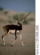 Blackbuck male {Antilope cervicapra} Thar desert Rajasthan India. Стоковое фото, фотограф Bernard Castelein / Nature Picture Library / Фотобанк Лори