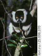 Купить «Black and white ruffed lemur {Varecia variegata variegata} Nosy Mangabe NP Madagascar», фото № 25098370, снято 22 сентября 2018 г. (c) Nature Picture Library / Фотобанк Лори