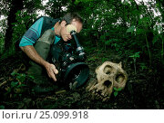 Bruce Davidson filming skull of Mountain gorilla Salaama Virunga NP Congo DR. Стоковое фото, фотограф Jabruson / Nature Picture Library / Фотобанк Лори