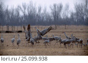 Sandhill cranes feeding in field Platte river Nebraska USA {Grus canadensis} . march. Стоковое фото, фотограф Mark Payne-Gill / Nature Picture Library / Фотобанк Лори