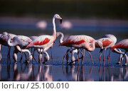 Chilean flamingos feeding {Phoenicopterus chilensis} La Pampa, Argentina Macachin, Pampa. Стоковое фото, фотограф Gabriel Rojo / Nature Picture Library / Фотобанк Лори