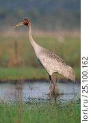 Купить «Brolga crane {Grus rubicunda} Yepon, Queensland, Australia», фото № 25100162, снято 21 ноября 2019 г. (c) Nature Picture Library / Фотобанк Лори