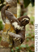 Pale throated sloth {Bradypus tridactylus} Manaus Brazil. Стоковое фото, фотограф Staffan Widstrand / Nature Picture Library / Фотобанк Лори
