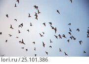 Mexican free tailed bats leaving roost. Austin, Texas USA {Tadarida brasilienses mexicana} Стоковое фото, фотограф John Waters / Nature Picture Library / Фотобанк Лори