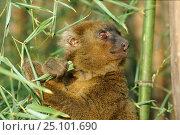 Купить «Broad nose gentle lemur {Hapalemur simus} Vondrozo Region, Madagascar», фото № 25101690, снято 22 сентября 2018 г. (c) Nature Picture Library / Фотобанк Лори