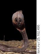 Купить «Ceylonese cobra display {Naja naja polyocellata}», фото № 25102490, снято 23 января 2019 г. (c) Nature Picture Library / Фотобанк Лори