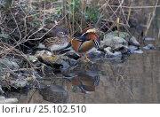 Купить «Pair of Mandarin duck (Ais galericuluata) captive, UK», фото № 25102510, снято 13 ноября 2018 г. (c) Nature Picture Library / Фотобанк Лори