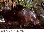 Pygmy Hippopotamus and baby {Choeropsis liberiensis} captive Native to West Africa. Стоковое фото, фотограф Pete Oxford / Nature Picture Library / Фотобанк Лори