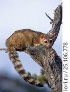 Ringtail cat {Bassariscus astutus} captive Montana USA. Стоковое фото, фотограф David Welling / Nature Picture Library / Фотобанк Лори