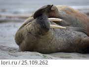 Купить «Walrus (Odobenus rosmarus) scratching nose, on the beach in Spitsbergen, Norway.», фото № 25109262, снято 30 марта 2020 г. (c) Nature Picture Library / Фотобанк Лори