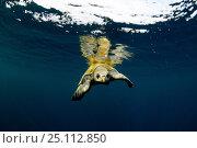 Купить «Sea turtle (Chelonioidea) slowly making its way through calm water, Guatemala.», фото № 25112850, снято 18 июня 2019 г. (c) Nature Picture Library / Фотобанк Лори