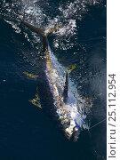Купить «Yellow fin tuna (Thunnus albacares) caught on fishing hook, Guatemala.», фото № 25112954, снято 20 июля 2019 г. (c) Nature Picture Library / Фотобанк Лори