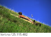 Купить «Easter Island local sliding down Maunga pu'i volcano during haka pei, part of the yearly Easter Island festival, Tapati Rapa Nui. Haka pei involves sliding...», фото № 25115482, снято 18 августа 2018 г. (c) Nature Picture Library / Фотобанк Лори