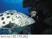 Купить «Diver looking at a Potato cod (Epinephelus tukula), Cod Hole dive site, Great Barrier reef, Australia», фото № 25119262, снято 16 января 2019 г. (c) Nature Picture Library / Фотобанк Лори
