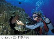 Купить «Scuba diver touching a Giant moray eel (Gymnothorax javanicus), Bora Bora, French Polynesia», фото № 25119486, снято 16 января 2019 г. (c) Nature Picture Library / Фотобанк Лори