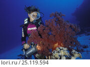 Купить «Diver shining a torch on colorful soft coral (Alcyonacea sp.), Flinders Reef, Australia», фото № 25119594, снято 16 января 2019 г. (c) Nature Picture Library / Фотобанк Лори