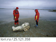 Купить «Yacht crew carrying a bear rifle and looking at the remains of a whale skeleton at an old whaling station in Spitsbergen, Svalbard, Norway, 1998.», фото № 25121358, снято 22 июля 2018 г. (c) Nature Picture Library / Фотобанк Лори