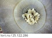 Купить «Ballon corallimorpharians (Amplexidiscus fenestrafer) sea anaemones, Tubbataha Reef, Phillipines.», фото № 25122286, снято 19 июля 2018 г. (c) Nature Picture Library / Фотобанк Лори