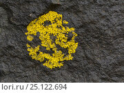 Купить «Coastal lichen (Xanthoria aureola) Isle of Mull, Scotland, UK, June.», фото № 25122694, снято 21 августа 2018 г. (c) Nature Picture Library / Фотобанк Лори