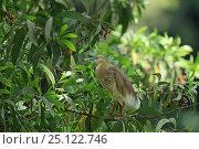 Купить «Indian pond heron (Ardeola grayii) perched, Sri Lanka.», фото № 25122746, снято 16 июня 2019 г. (c) Nature Picture Library / Фотобанк Лори