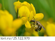 Купить «Wilke's meadow mining bee (Andrena wilkella) nectaring on Birdsfoot trefoil (Lotus corniculatus) on grassland meadow cleared of scrub to improve the habitat...», фото № 25122970, снято 24 сентября 2018 г. (c) Nature Picture Library / Фотобанк Лори